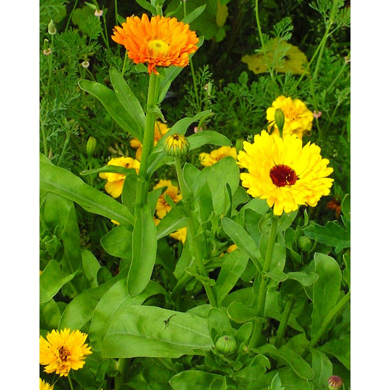 calendula officinalis 39 erfurter orangefarbige 39 ringelblume bio saa. Black Bedroom Furniture Sets. Home Design Ideas