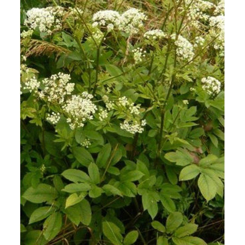 chaerophyllum aromaticum gew rz k lberkropf bio saatgut. Black Bedroom Furniture Sets. Home Design Ideas
