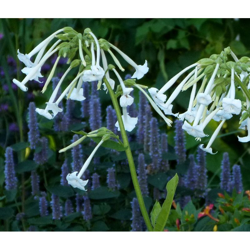 nicotiana sylvestris 39 only the lonely 39 dufttabak bio. Black Bedroom Furniture Sets. Home Design Ideas