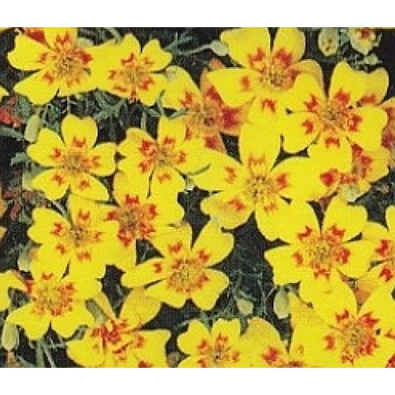 tagetes tenuifolia 39 lemon star 39 gew rz tagetes saatgut 1 75. Black Bedroom Furniture Sets. Home Design Ideas