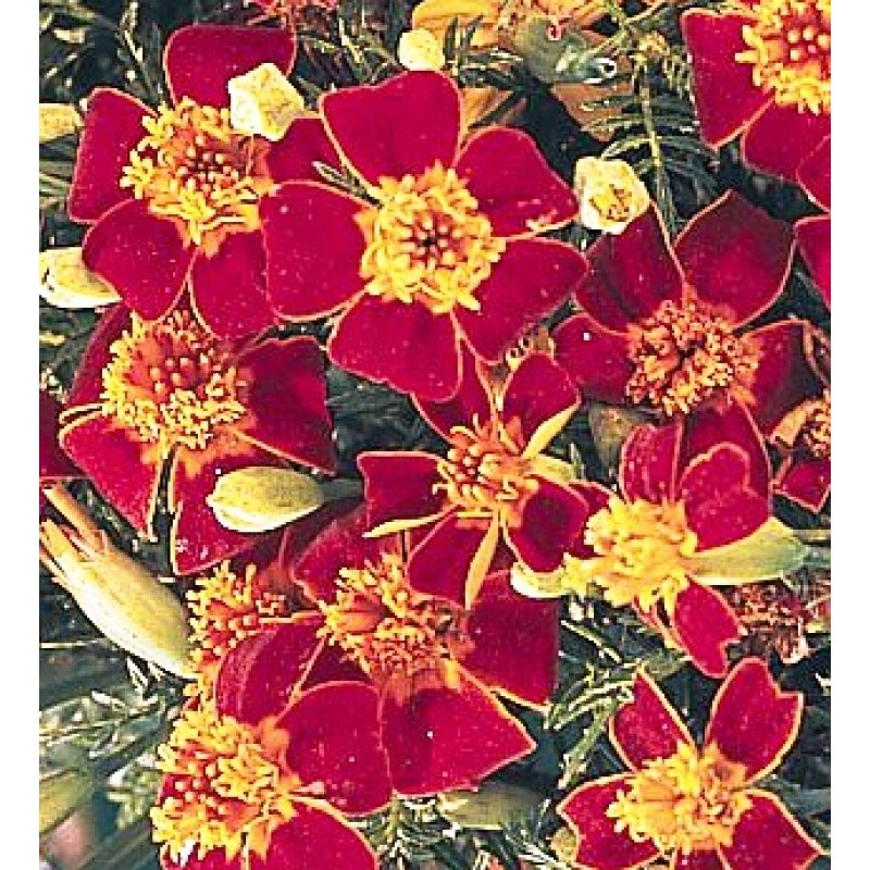 tagetes tenuifolia 39 ornament 39 gew rz tagetes saatgut 1 60. Black Bedroom Furniture Sets. Home Design Ideas