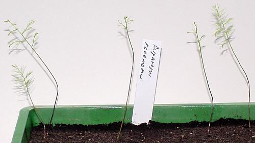 Asparagus racemosus Jungpflanzen 31.05.2010