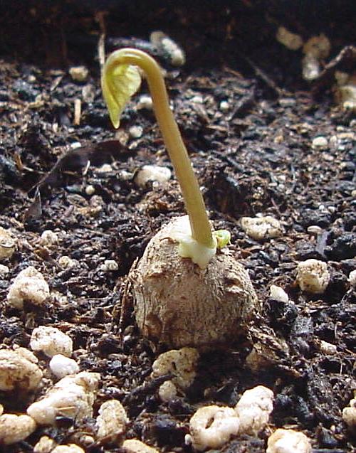 Dioscorea Brutknöllchen Austrieb