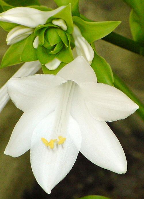 Hosta plantaginea 'Grandiflora' - Blüte
