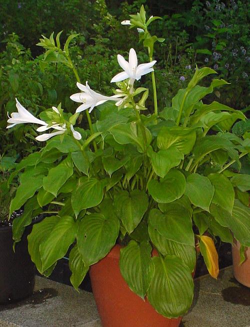 hosta plantaginea 39 grandiflora 39 lilien funkie. Black Bedroom Furniture Sets. Home Design Ideas