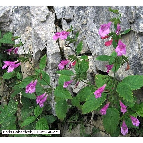 Calamintha Grandiflora Grossblutige Bergminze Saatgut 1 82