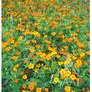 Tagetes erecta Orange Sun - Hohe Studentenblume...
