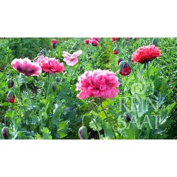 papaver somniferum var paeoniflorum gef llter ziermohn bio saatgu 1 95. Black Bedroom Furniture Sets. Home Design Ideas