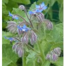 Borago officinalis - Borretsch (Bio-Saatgut)