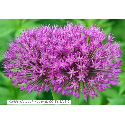 Allium aflatunense Purple Sensation - Kugel-Lauch (Pflanzgut)