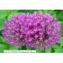 Allium aflatunense Purple Sensation - Kugel-Lauch...