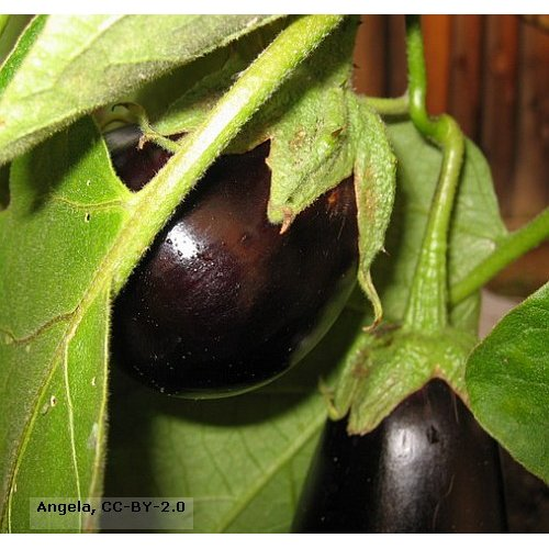 aubergine-black-beauty-bio-saatgut.jpg
