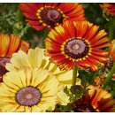 Chrysanthemum carinatum Flame Shades - Bunte Margerite...