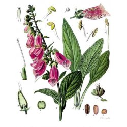 Digitalis purpurea - Roter Fingerhut (Saatgut)