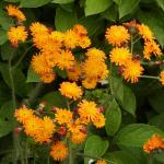 hieracium aurantiacum orangerotes habichtskraut saatgut 1 60 eu. Black Bedroom Furniture Sets. Home Design Ideas