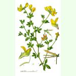 lotus corniculatus wildform hornschotenklee saatgut 1. Black Bedroom Furniture Sets. Home Design Ideas