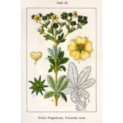 Potentilla recta - Hohes Fingerkraut (Saatgut)