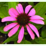 echinacea purpurea roter sonnenhut bio saatgut 1 60. Black Bedroom Furniture Sets. Home Design Ideas