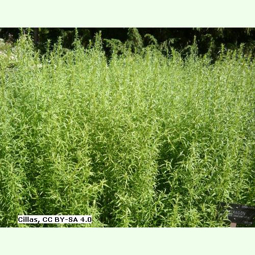 RUSSISCHER ESTRAGON  500 Samen  für Sauce Béarnaise Artemisia dracunculus