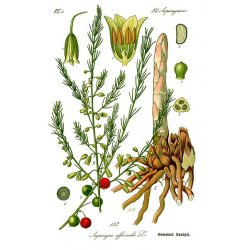 Asparagus officinalis Mary Washington - Grünspargel (Saatgut)