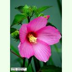 hibiscus moscheutos roseneibisch saatgut 1 85. Black Bedroom Furniture Sets. Home Design Ideas