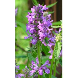 Stachys officinalis - Heilziest, Betonie (Bio-Saatgut)